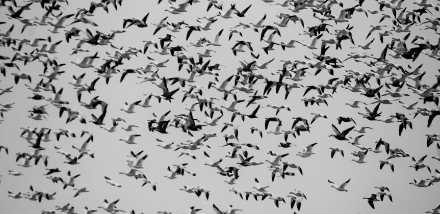 Huge flock of migrating birds in flight